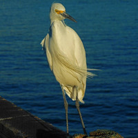 Egret on Oceanside Pier Photograph, Printable Wall Art, Digital Image, Instant Download