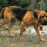 dog: bloodhound -- Kids Encyclopedia | Children's Homework Help | Kids Online Dictionary | Britannica