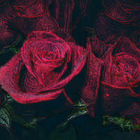 Red Rose Love Black Background Print