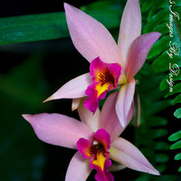 Purple Orchids Image  Two Multicolored by NatureImagesByDesign
