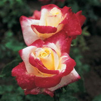 Double Delight Hybrid Tea Rose at Jackson and Perkins