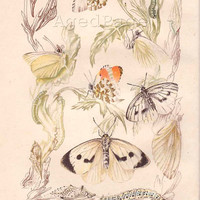 Insect Print, Butterfly Wall Art, Vintage Illustration, Lithograph Series, Home and Living, 1945, Plate II