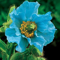 Himalayan Blue Poppy - Plow  Hearth