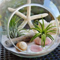 "Beach Terrarium with White Coral - 2 Air plants - Sand and Shells - Driftwood - 7"" Glass Round Globe - Beach -  Home Decor - Gift idea"