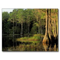 Cypress trees in Lake Bradford Region ,