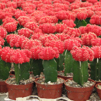 Grafted red Cactus Plant