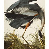 Great Blue Heron (Ardea Herodias), Plate Ccxi, from &#x27;The Birds of America&#x27; Giclee Print by John James Audubon at Art.com