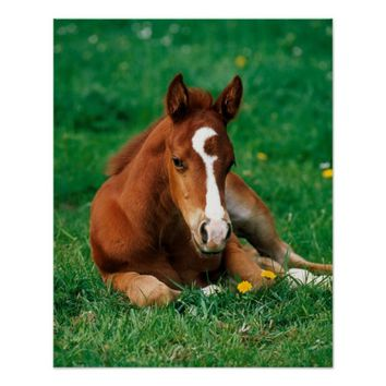 Quarterhorse, brown foal is lying in a meadow