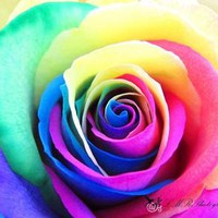 Rose Photograph, Multicolored Rose, Fine Art Photograph