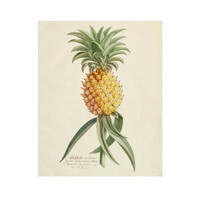 Vintage Botanical Tropical Fruit Print for Digital Download: Pineapple 8x10 sized images, art for printing and framing, decoupage
