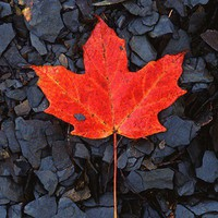 Red maple leaf on black shale fine art by JohnHarmonGallery