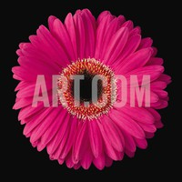 Gerbera Daisy Pink Art Print by Jim Christensen at Art.com