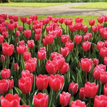 Rosy Delight Tulip - Pack of 10 - Pack of 10 at Jackson and Perkins