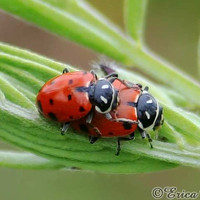 Cute Ladybug Photo Mating Lady Bugs Fun by NatureVisionsToo