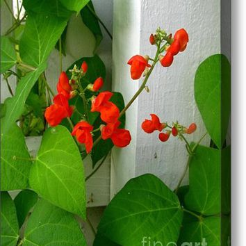 Picket Fence Runner Beans Acrylic Print