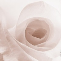 Blooming White Rose Photographic Print at Art.com