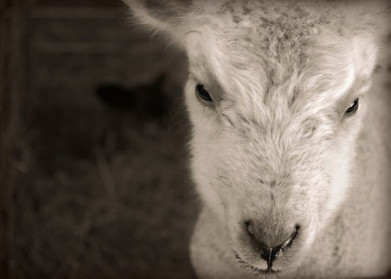 Lamb Farm Photography Sheep,Barn yard,grazing pet,kid,goat,brown,black,Gifts under 25,FREE SHIPPING