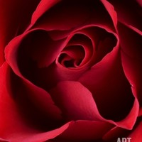 Close-up View of Red Rose Photographic Print by Clive Nichols at Art.com