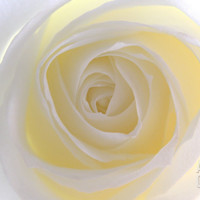 Rose Photographic Print by Nadia Isakova at Art.com