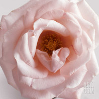 Powder Pink Rose III Premium Poster at Art.com