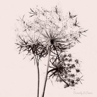 Anne, queen anne&#x27;s lace, nature, fine art photography