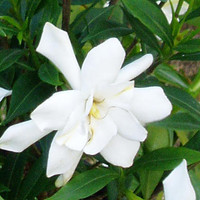 Frost Proof Gardenia - 1 gallon