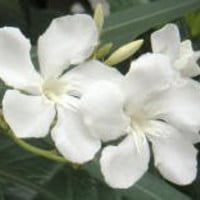 Oleander Pure White - 1 gallon