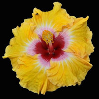 "Cajun Hibiscus ""Cajun Sunrise""- 1 gallon"