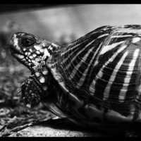 Box Turtle Black &amp; White Photographic Print