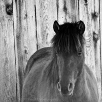 "CIJ SALE, Horse Art, 5x5 Fine Art Black and White Photography - ""Shy Little Pony"""