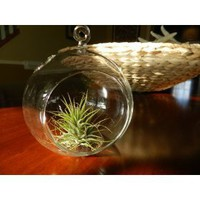 Hanging Glass Globe Terrarium with Air Plant Sweet Little House Plant for Home or Office By Hinterland Trading