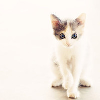 White and Grey Kitten Art Print by Erin Johnson | Society6