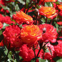 Charisma Yellow Red Floribunda Rose