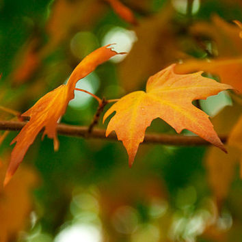 Fine Art Photo: 8 x 10 Autum orange yellow green fall leaf - nature based woodland wall art home decor