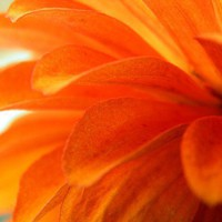 Zinnia Floral Photograph Orange,macro,petals,fine art,gifts under 2......