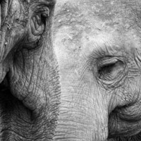 A pair of Pachyderms Art Print by Wood-n-Images | Society6