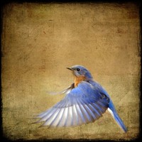 Bluebird Photograph, bird flying flight blue - 8x8 - Bluebird on the Wing