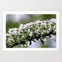 Many little white blossom Art Print by LoRo  Art & Pictures