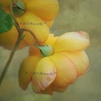 Fine Art Photography, Peach Roses Print, Fine Art Nature Photograph