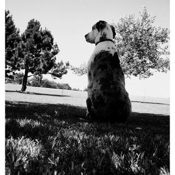 Great Dane Dog Black & White Photographic Print