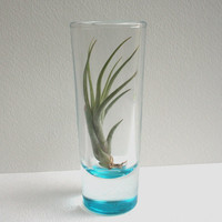 tillandsia air plant terrarium cocktails in shooter by EcoPrint