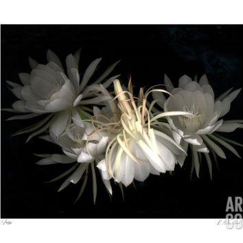 Night Bloomers Limited Edition by Kate Blacklock at Art.com