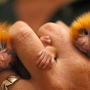 Small as your finger but they are not insects but monkeys - StumbleUpon