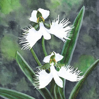 Original watercolor of a white egret flower orchid Habenaria radiata (unframed) - by Savousepate