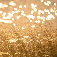 Autumn photography wild grass maize yellow harvest gold fall photo sparkling water bokeh sunlight ochre curry - Seeing Spots 8x10