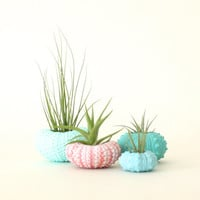 Teeny Tiny Air Plant Urchin Planter Set with Air Plants  -  Aqua, Pink, Blues & Greens.