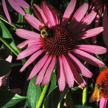 Purple Coneflowers 003