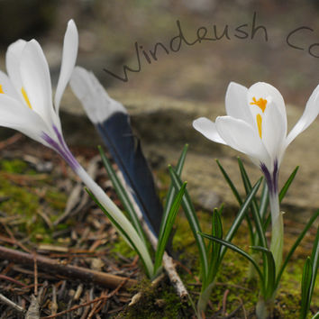 Bluejay Feather & Crocuses - Fine Art Nature by Windrush Cove on Zibbet