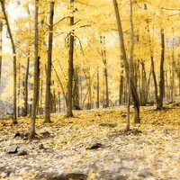 Yellow Autumn Photograph - 8x12 Fall forest picture - sunny sugar maple leaves fine art print, Thanksgiving harvest photo