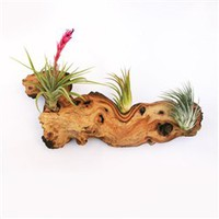 Exotic and Beautiful African Mopani Wood with Air Plants